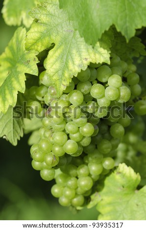 a grape closeup