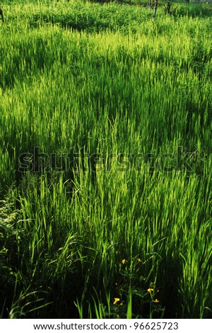 A grass meadow in the morning light.