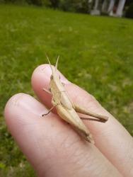 a grasshopper on my finger