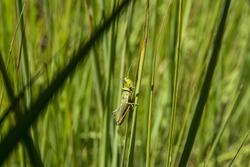 A grasshopper sitting in the grass close up. A green grasshopper. Macro Photo of a Grasshopper (insect)