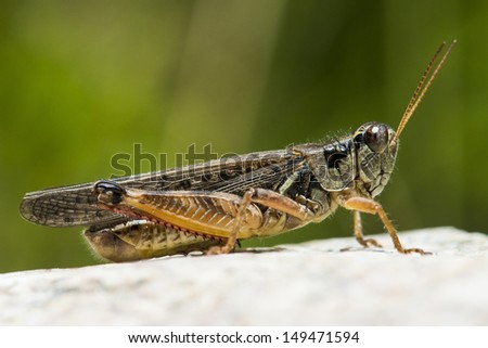 A grasshopper sunbathes on a rock #149471594