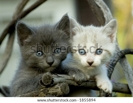 A gray and a white kitten.