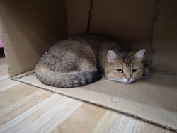A gray-brown cat lying in a crate under the table with a bored expression.