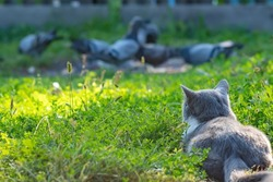 a gray cat, a mixture, a cross between a British breed, lies on the green grass, hiding, watching and hunting birds, pigeons in the courtyard of a country estate, at home
