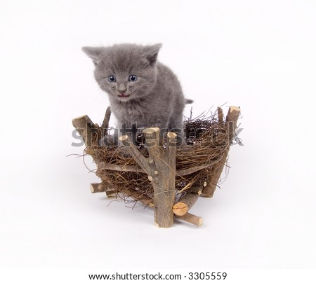A gray cat climbs into a decorative birds nest on white background