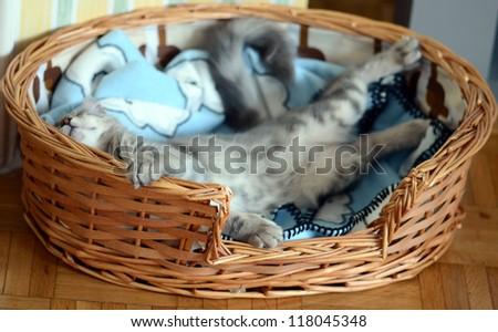a gray cat / kitten sleeping in basket