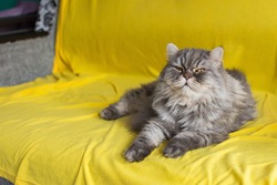 A gray cat on a yellow sofa background. A thoroughbred Scottish cat in the trending colors of 2021 ultimate gray and illuminating color. Portrait of a domestic fluffy cat lying on a yellow blanket.