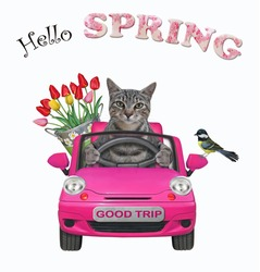 A gray cat with a pail of flowers is driving a pink car. Hello spring. White background. Isolated.