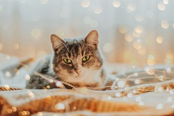 A gray cat with green eyes lies surrounded by Christmas lights. New Year's illumination.