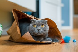 A gray cat with yellow eyes sits in a paper bag waiting for the game. Scottish fold.