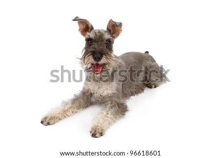 A gray color miniature Schnauzer dog laying down against a white backdrop