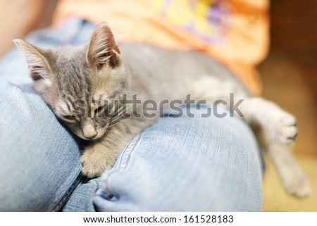 A gray kitten naps on the blue jeans of someone's lap.