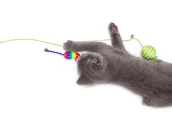 A gray kitten playing with a toy on a white background, isolated
