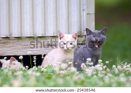 A gray kitten yawns while sitting next to a yellow cat near an old shed