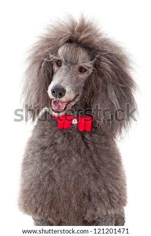 A gray male standard poodle dog wearing a red christmas bow tie with a rhinestone. Isolated on white a white background