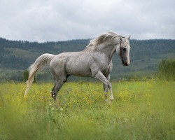 A gray, muscular stallion of the English thoroughbred breed runs through the green grass in a meadow.