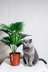A gray Scottish cat sits next to a domestic plant. White table and walls. Homely atmosphere and comfort. Fat cat. Yellow, heavy eyes.Livistona.