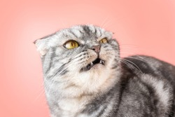 A gray Scottish Fold cat looks angrily to the side. The concept of pet aggression, behavior correction of cats.