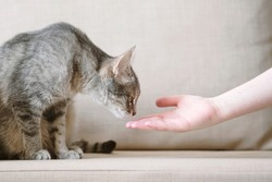 A gray striped cat sits on a beige sofa and sniffs a owner hand. The cat trusts the owner. Pet and human.