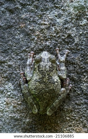 a gray tree frog (Hyla versicolor) sits hidden on a stone