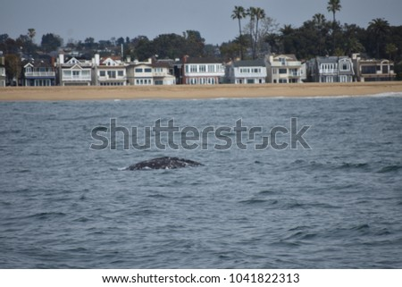 A gray whale descending to the depths in Newport Beach.