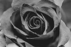 A grayscale closeup shot of a rose