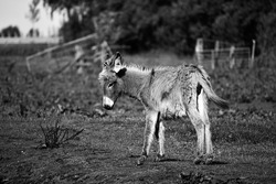 A grayscale shot of a cute baby donkey in nature
