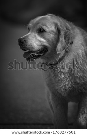 A grayscale shot of a golden retriever on blurred background