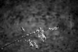A grayscale shot of a long thin tree branch with blossoming white flowers