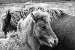 A grayscale shot of an Icelandic horse