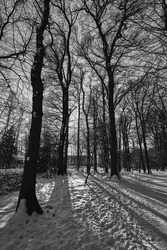 A grayscale shot of high trees in snowy woods