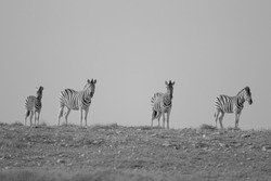 A grayscale shot of zebras standing on top of the hill in the distance