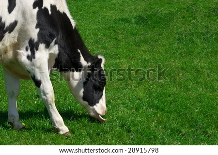 a grazing cows head and fore feet with copy-space, point of focus intentionally on the mouth and tongue.