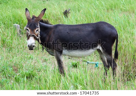 A grazing donkey on rural grassland