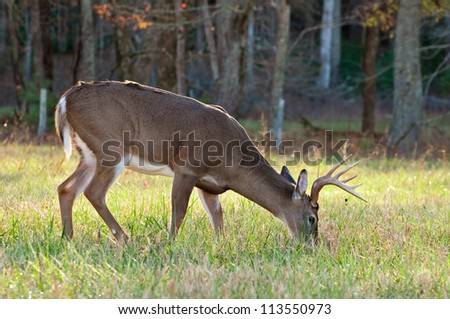 A grazing White Tail Deer.