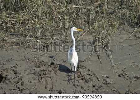 A Great American White Egret in the mud of the South Carolina Low Country Salt Marshes.