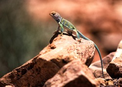 A Great basin Collard Lizard crotaphytus bicinctores on a rock in Canyon Lands National Park in southern Utah.