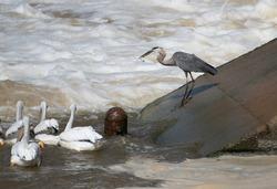A great blue heron, Ardea herodias, eats a fish as pelicans hunt nearby.