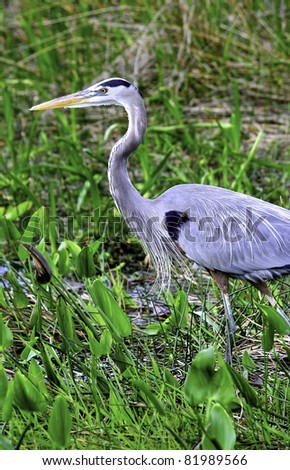 A Great Blue Heron at Everglades National Park