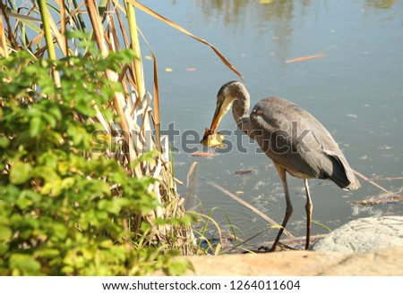 A great blue heron eating a fresh fish just fishing