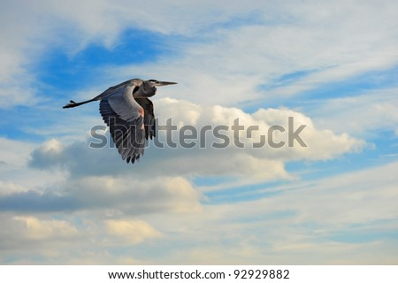 A Great Blue Heron flying in the clouds over the Chesapeake Bay in Maryland