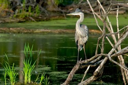 A Great Blue Heron is standing on some dead branches looking out over a pond. McKenzie Wetland, Aurora, Ontario, Canada.