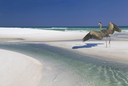 A Great Blue Heron Landing on a Beautiful White Sand Beach