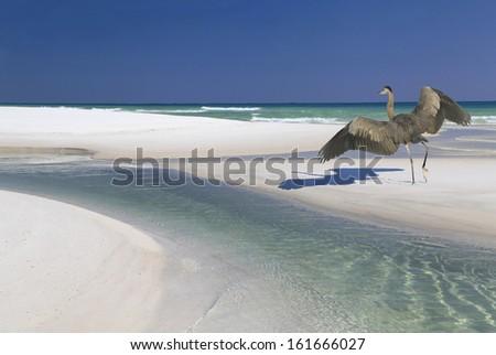 A Great Blue Heron Landing on a Beautiful White Sand Beach
