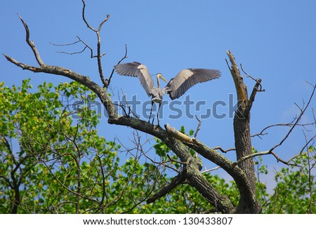 a great blue heron lands in a...