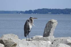 A great blue heron perched on a rocky outcrop in the Elk River, Chesapeake Bay, in Cecil County, Maryland.