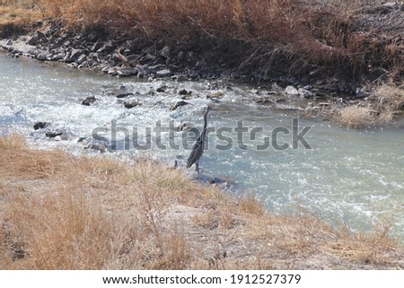 A Great Blue Heron stands patiently on the edge of a running stream at Bosque del Apache Federal Wildlife Refuge in the hunt for his lunch.   Foto stock ©