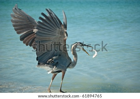 A Great Blue Heron tosses a fish that it has caught into the air on a Florida beach.