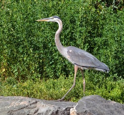 A Great Blue Heron viewed up close in Summertime is nicely offset while walking by lush green shrubbery in the background.