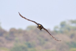 A Great Cormorant bird is making eye contact with the photographer while flying
